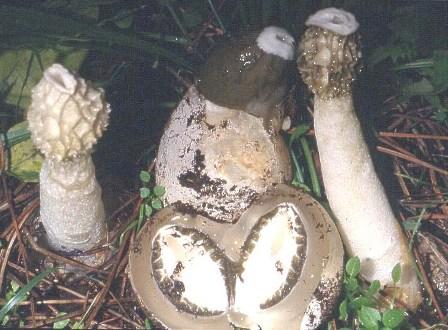 гриб веселка применение